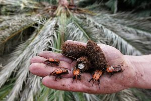 ed palm weevil treatment